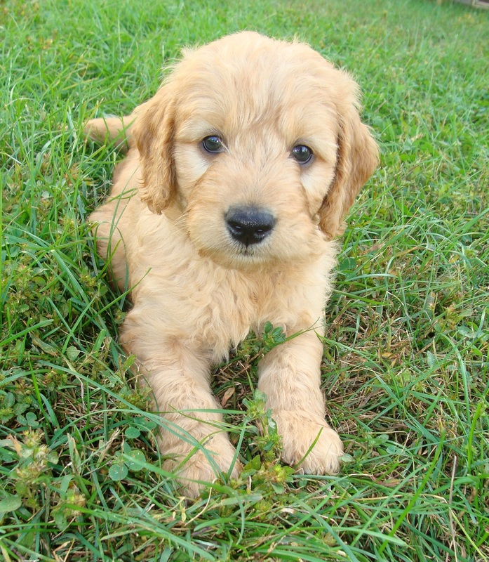 Puppies Irish Doodle Goldendoodle Puppies For Sale Eagle Valley